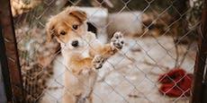 Diebstahl erreicht neue Dimension - 83 Hunde entdeckt