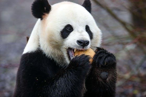 Im  Pairi Daiza Tierpark in Belgien kam es zu einem Zwischenfall mit einem Panda.