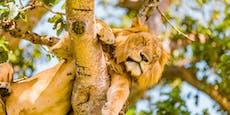 Vergifteten Wilderer sechs Löwen?
