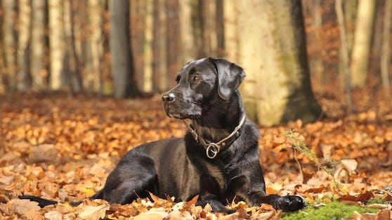 """(Symbolbild) Der schwarze Labrador """"Boby"""" wurde rechtswidrig eingeschläfert."""