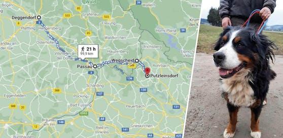 Über diese Route war Paula von ihrem Daheim im deutschen Deggendorf 99 Kilometer bis nach Putzleinsdorf im Bezirk Rohrbach gewandert.