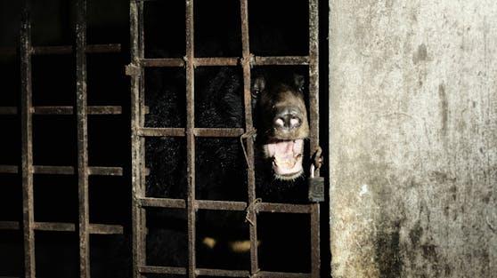 """17 Jahre Dunkelheit in einem Kellerverlies. So sah das Leben von Kragenbär """"Mo"""" und """"Xuan"""" aus."""