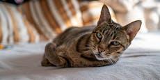Ist die teuerste Katze der Welt eigentlich ein Fake?