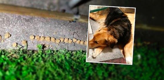 """Mischling """"Nicki"""" erwischte einen Giftköder, konnte vom Tierarzt gerettet werden."""