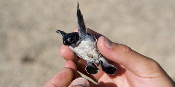 Flughafenmitarbeiter auf den Galápagos-Inseln haben in einem Koffer rund 185 neugeborene Schildkröten entdeckt (Symbolfoto)