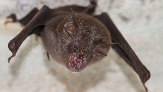 Forscher sind in Kalksteinhöhlen auf Fledermäuse gestoßen, die drei Coronaviren in sich trugen.