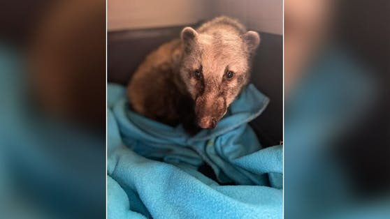 Wer tut denn so etwas? Endlich kümmerten sich kompetente Wildtierexperten um den armen Nasenbären und dann wurde er gestohlen.