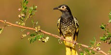 Vogel verlernt Balzgesang – Unterricht soll helfen