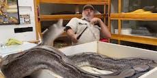 Gigantische Python-Mama will Besitzer verschlucken