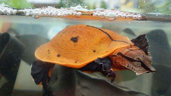 """Die """"Rotrückige Klappen Weichschildkröte"""" ist eigentlich im Kongo beheimatet."""