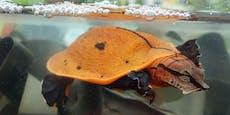 Schildkröten-Paradies: Turtle-Island in der Steiermark