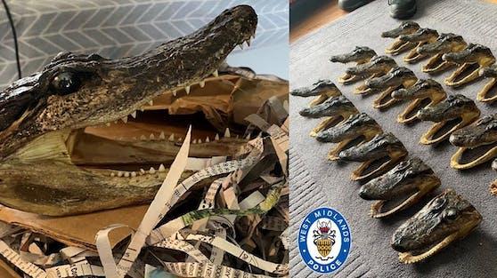 80 Alligator Köpfe wurden bei einer Hausdurchsuchung gefunden.