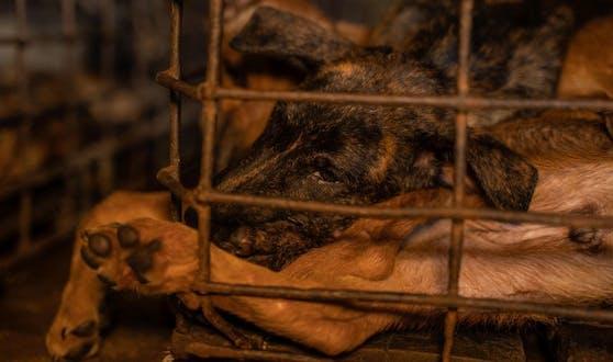 Die letzten 16 Hunde wurden nun von VIER PFOTEN aus dem Schlachthaus in Kambodscha gerettet.