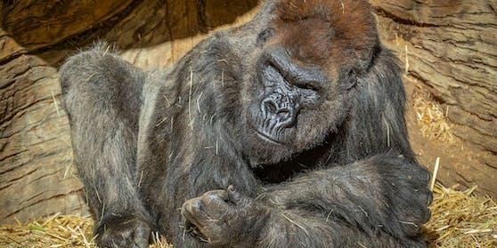 Die Gorillas im San Diego Zoo Safari Park wurden positiv auf Covid-19 getestet