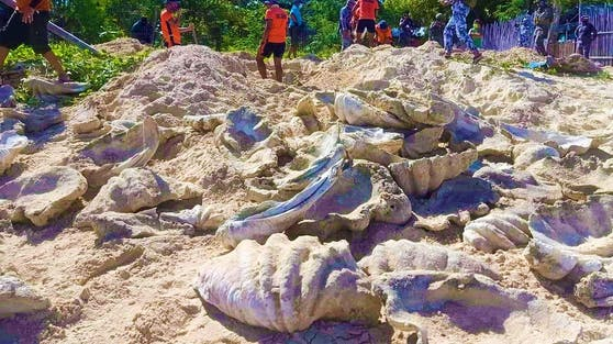 Am Strand in der Provinz Palawan (Philippinen) wurden riesige Muschen ausgegraben.