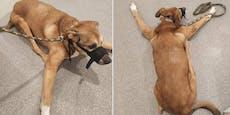 Jugendlicher quält Hund bis er nicht mehr stehen kann