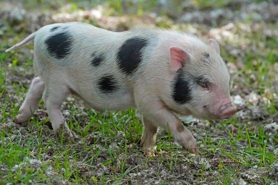 In Salburg wurden zwei Minischweine ausgesetzt. Symbolbild.
