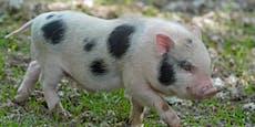 Paar setzt Minischweine aus – fast wären sie gestorben