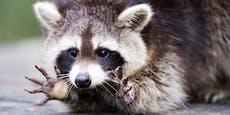 Corona-Pandemie bringt Waschbären zum Ausrasten