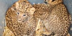 Drei Leopardenbabys verirrten sich ins Zuckerrohr
