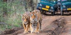 Touristen fahren an 2 Tigern vorbei – dann passiert das