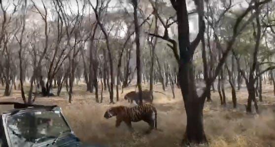 Bei den beiden Tigerinnen Siddhi und Riddhi änderte sich plötzlich die Laune.