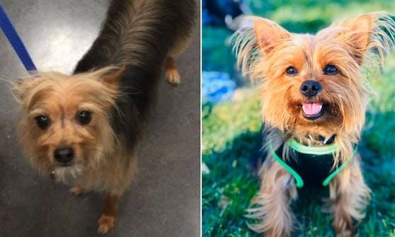 """Yorshire-Terrier """"Gucci"""" sah nach dem Hundefriseur irgendwie sehr verändert aus."""