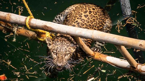 Der Leopard, war in einem 8 Meter tiefen Brunnen gefangen.