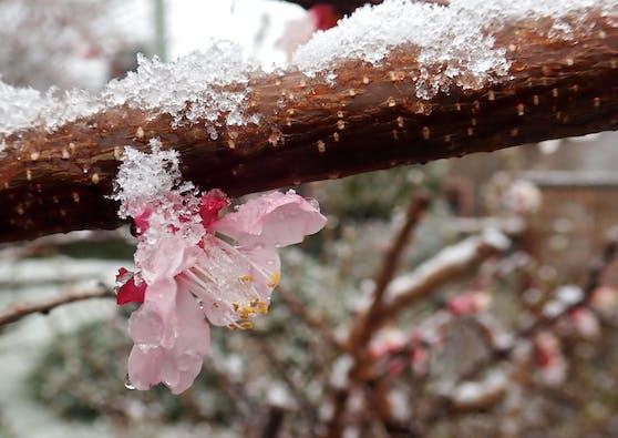 schneebedeckte Baumblüte im April