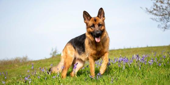 """Schäferhunde aller Rassen sind die """"Polizisten"""" und ebenfalls nicht die Ruhigsten."""