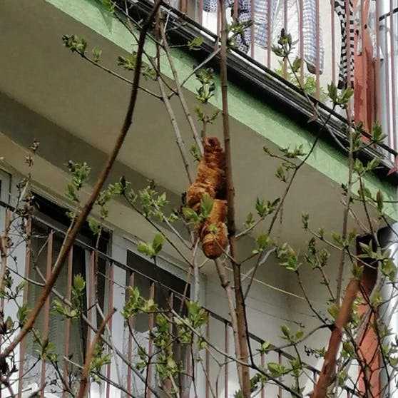 """Wurde mit einem Tier verwechselt: Ein """"harmloses"""" Croissant hing in dem Baum."""
