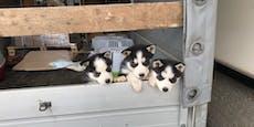 Sieben verwahrloste Hundewelpen aufgegriffen