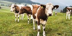 Weniger Gas durch Zitronengras – Kühe verdauen besser