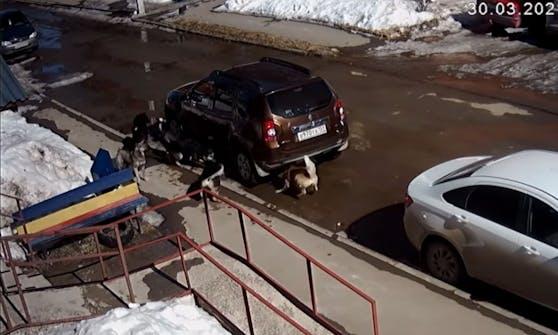 Unter diesem Auto sitzt eine Katze und bangt um ihr Leben - doch dann dreht sie den Spieß um.