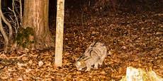 Wildkatze tappte erneut in Fotofalle im Thayatal