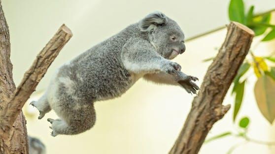 "Am 21.04.2021 wird Koala-Mädchen ""Millaa Millaa"" schon ein Jahr alt: HAPPY BIRTHDAY!"