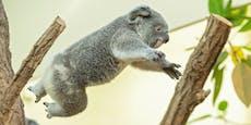 """Happy Birthday """"Millaa Millaa""""! Koala wird ein Jahr"""