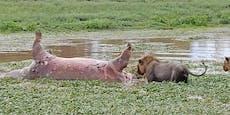 Löwe nagt an totem Nilpferd - erlebt böse Überraschung