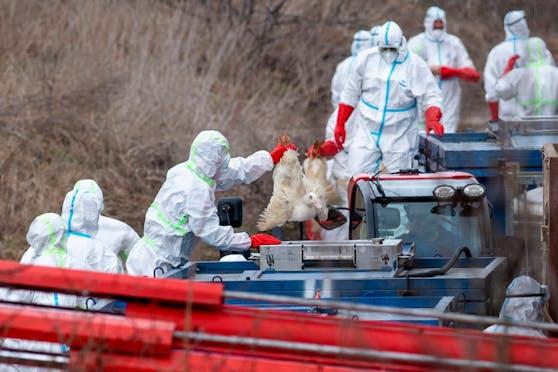 19.000 Gänse und Enten müssen nach einem erneuten Ausbruch der Vogelgrippe in Dänemark getötet werden. (Symbolbild)