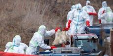 Vogelgrippe: Dänemark muss 19.000 Gänse und Enten töten