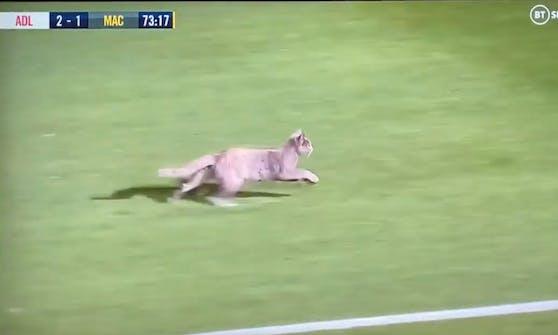 Die Samtpfote rennt mit einem Affenzahn quer über das Fußballfeld.