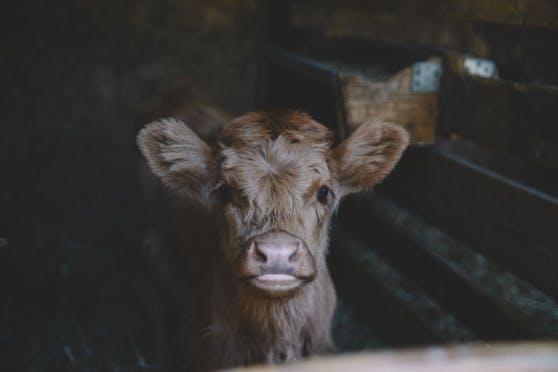 Für das Wachstum von kultiviertem Fleisch braucht es fetales Kälberserum. Dafür sterben Millionen Kälber jedes Jahr. Außer man verwendet synthetische Alternativen.