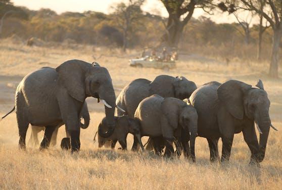 Völlig legal! Simbabwe plant die Rechte zum Abschluss von 500 Elefanten zu verkaufen.