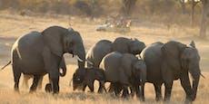 Simbabwe verkauft Rechte zum Abschuss von 500 Elefanten