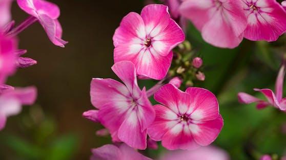 """Rosafarbene Phlox sollen die Idee für den Namen """"pink moon"""" geliefert haben."""