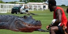 Alligator taucht beim Training von Toronto auf