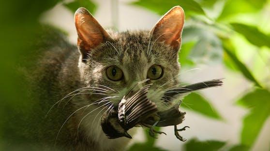 Ja, Katzen sind selbstverständlich ein natürlicher Fressfeind der Vögel.
