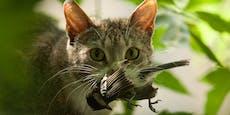 Niederlande plant Ausgangsverbot für Katzen ab 20 Uhr