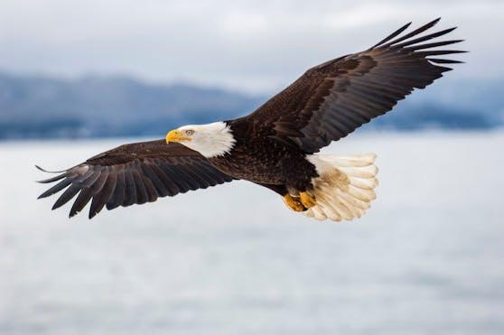 Das Wappentier der USA: Der Weißkopfseeadler