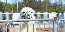 """""""Ich wars nicht!"""" Zirkus-Alpaka war gar nicht ausgebüxt"""